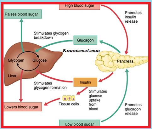 Mekanisme-Kerja-Pancreas