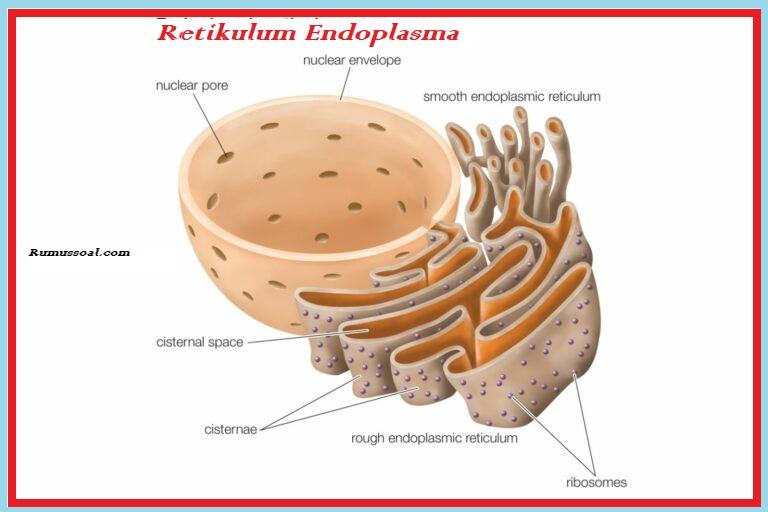 Retikulum-Endoplasma