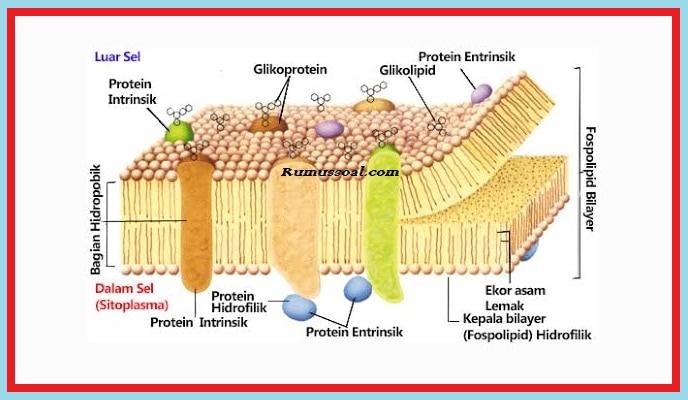 Struktur-Membran-Sel-2